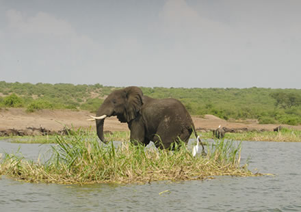 Elephants in Murchison Falls National Park
