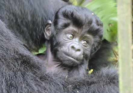 Young Bwindi Gorilla