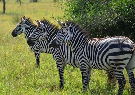 Zebras in Lake Mburo