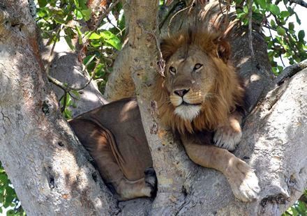 Famous Tree Climbing Lions of Uganda