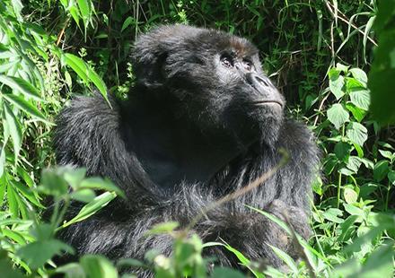 Rwanda Mountain Gorilla