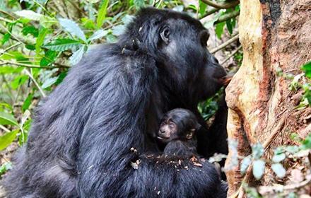 Mishaya Gorilla